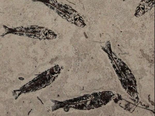 吸 水 率(W.A) % 鱼化石的形成要经过三个阶段。 很久很久以前(大概几亿年前),江河湖海中生活着鱼。 鱼死后沉入水底,被沉积的泥沙覆盖。由于水底空气被隔绝,又有泥砂覆盖,鱼的尸体不会腐烂。 经过亿万年的变动,又长期与空气隔绝,还受到高温高压的作用,尸体上覆盖的泥砂越来越厚,压力也越来越大。又过了很多很多年,鱼尸体上面和下面的泥砂变成了坚硬的沉积岩,夹在这些沉积岩中的鱼的尸体,也变成了像石头一样的东西,且十分坚硬,这就是鱼化石。